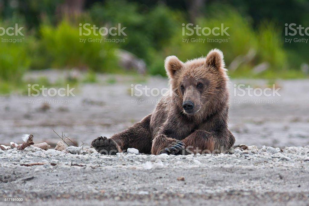 Bear cubs stock photo