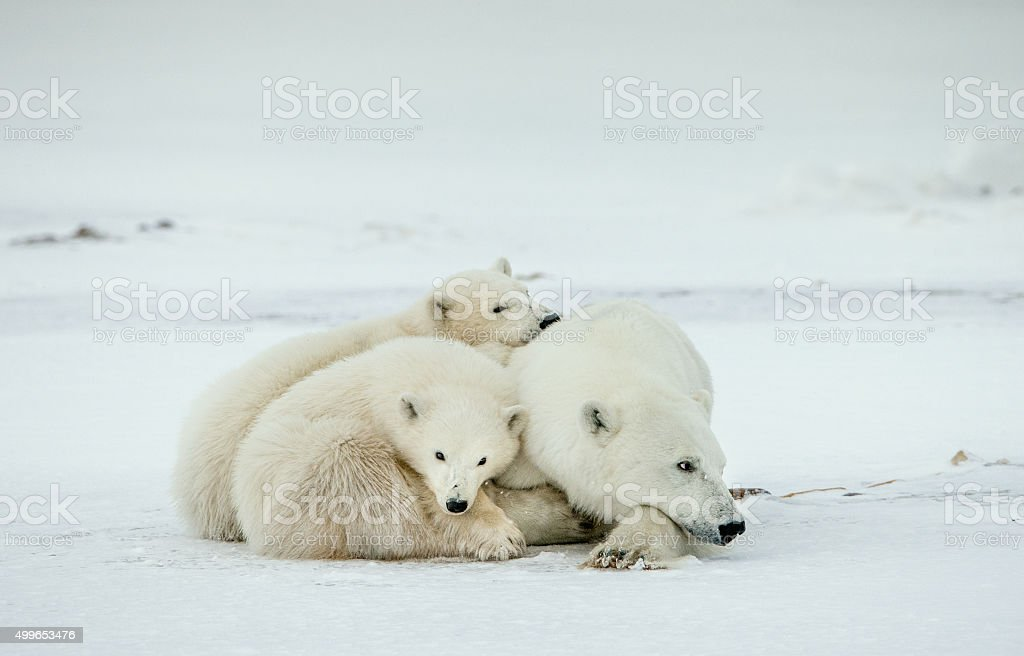 Bear cubs with a she-bear. stock photo