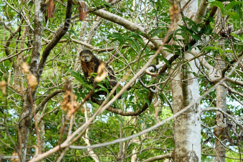 Bear Cuscus (Ailurops ursinus) in tree stock photo