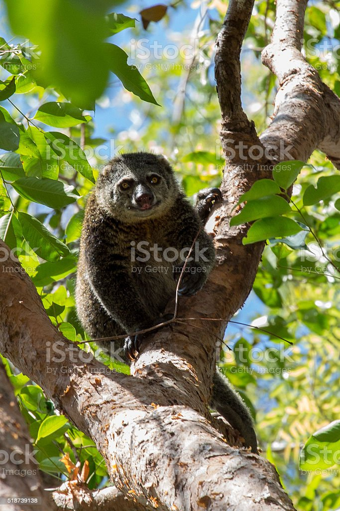Bear Cuscus stock photo