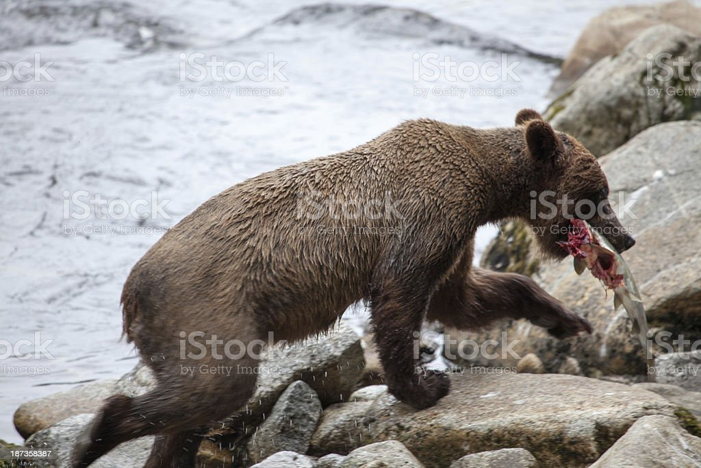 Bear Eating Salmon stock photo