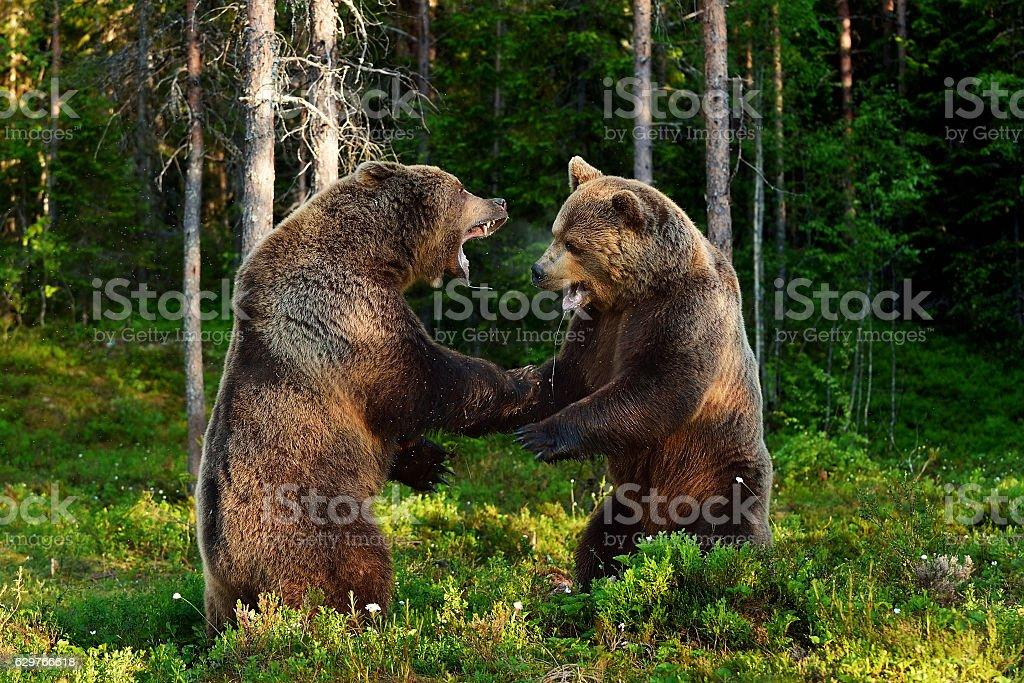bear fight. bears fighting. animal fight. stock photo