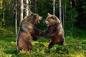 bear fight. bears fighting. animal fight.