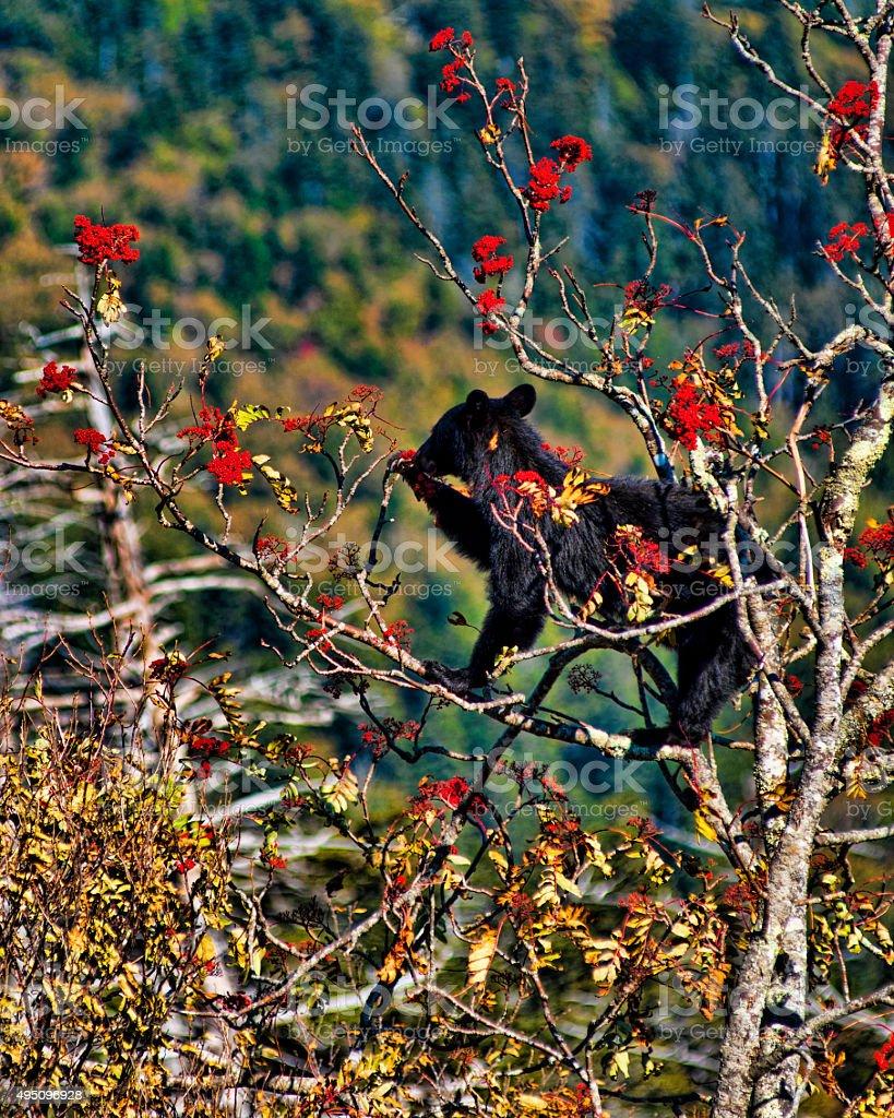 Bear foraging in un albero per il foto stock royalty-free
