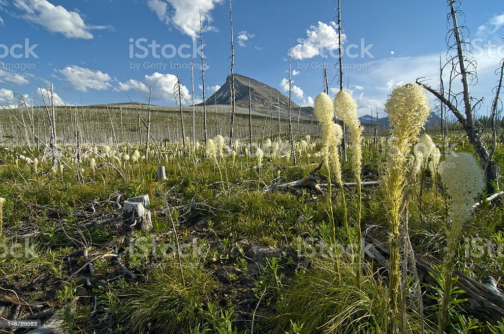 Bear Grass on Continental Divide royalty-free stock photo