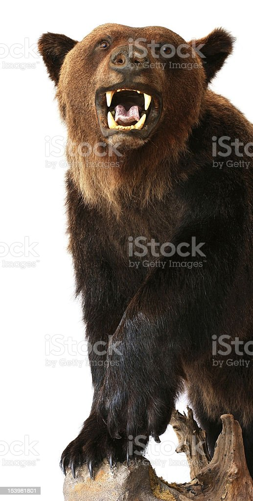 A bear growling on a tree on a white background stock photo