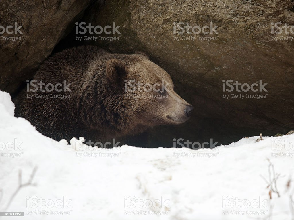 Bear have a look out of  his cave stock photo