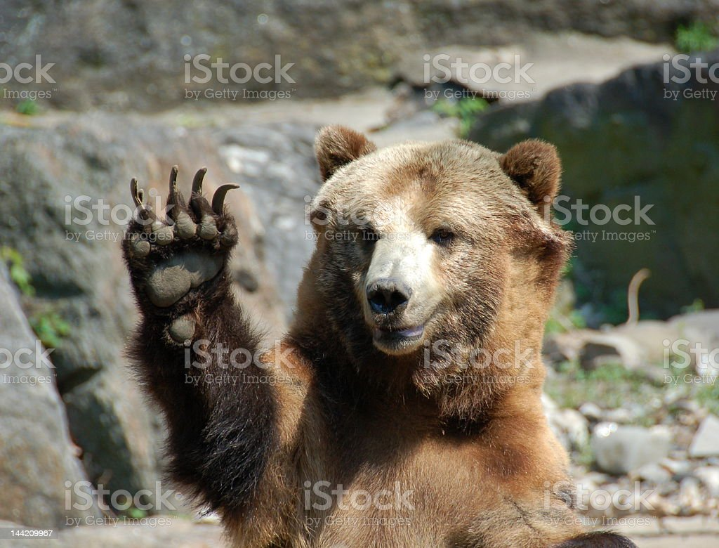 Bear in a rocky terrain with hand in air stock photo
