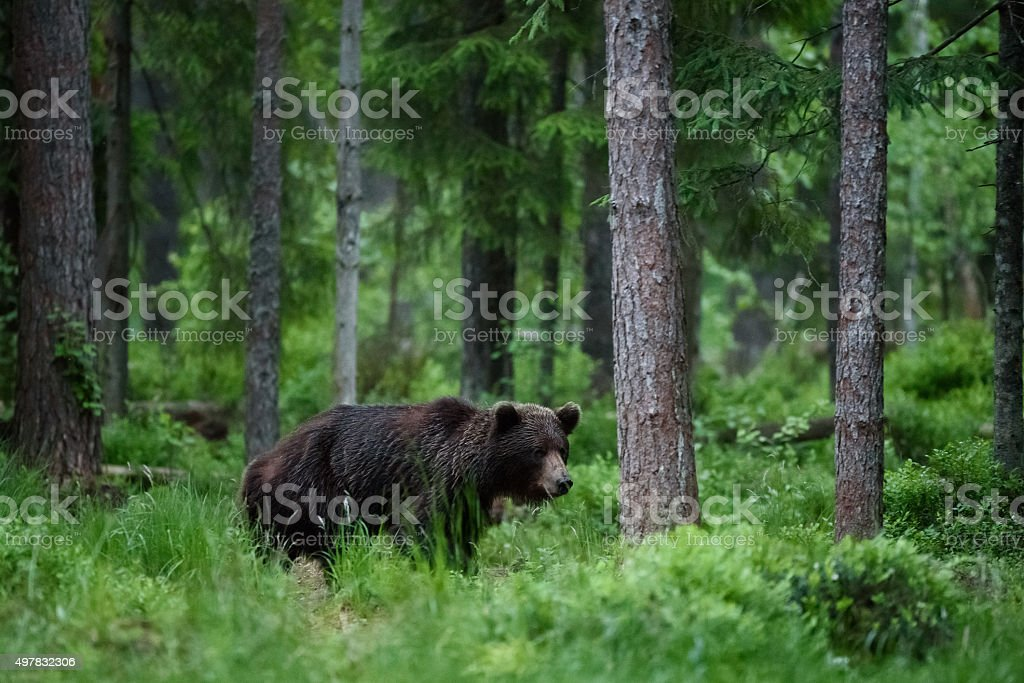 Bear in forest stock photo