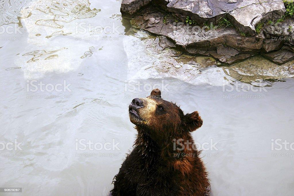 Bear in Lake stock photo