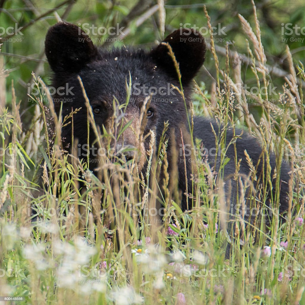Bear In Tall Grass stock photo