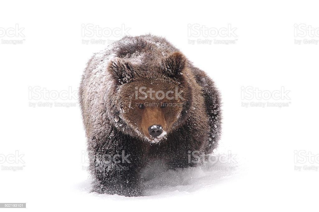 Bear in the snow stock photo