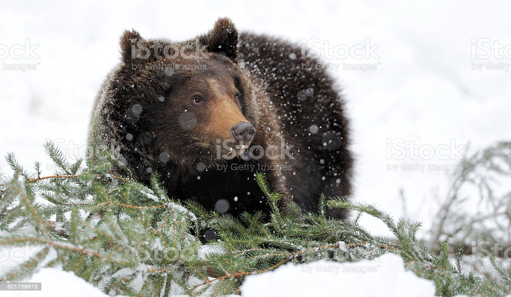 Bear in winter forest stock photo