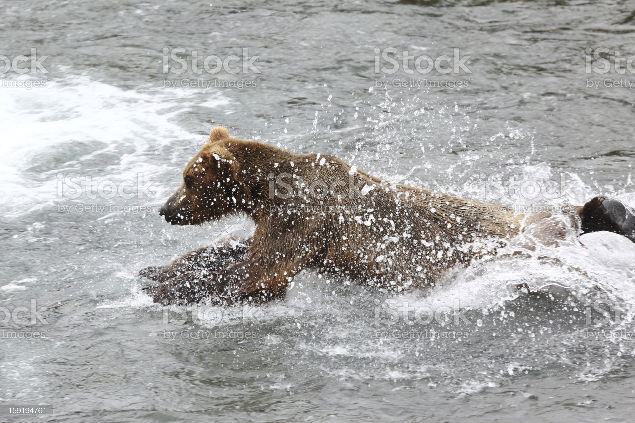 Bear jumping in the water royalty-free stock photo