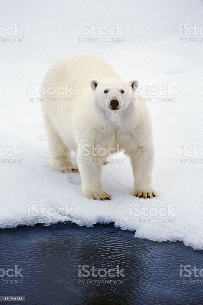 bear looking up royalty-free stock photo