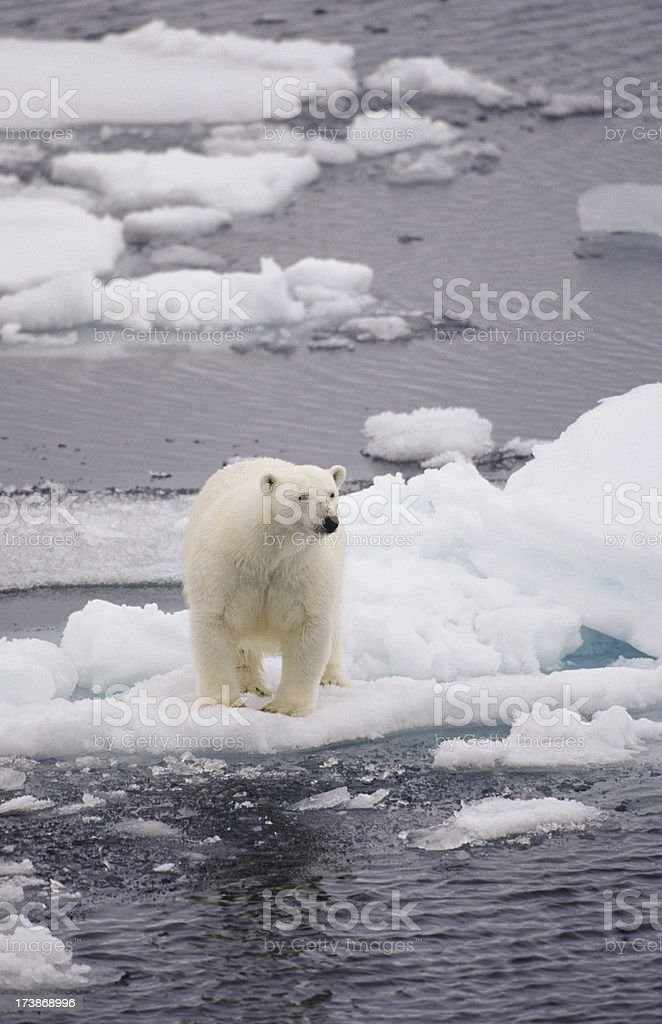Bear on small ice floe royalty-free stock photo