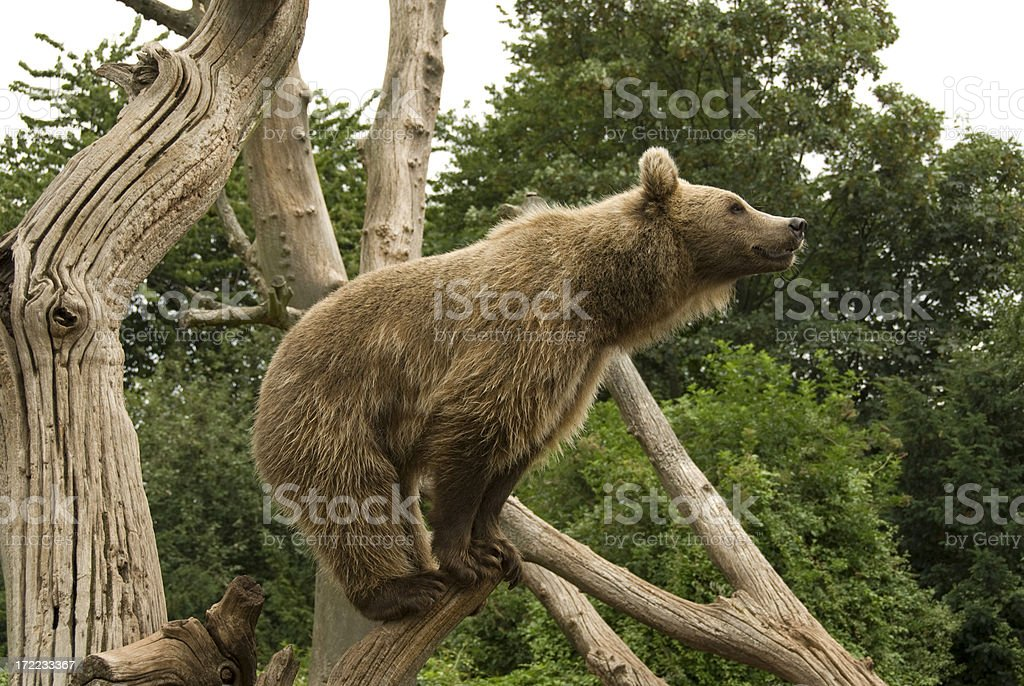 Bear on the lookout stock photo