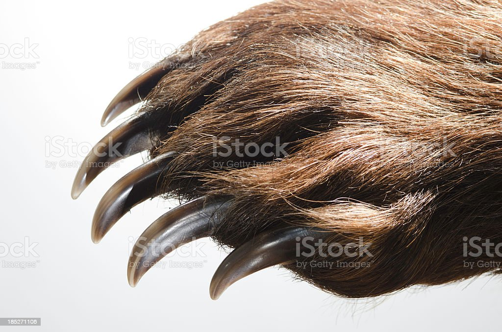 Bear Paw and Claws stock photo