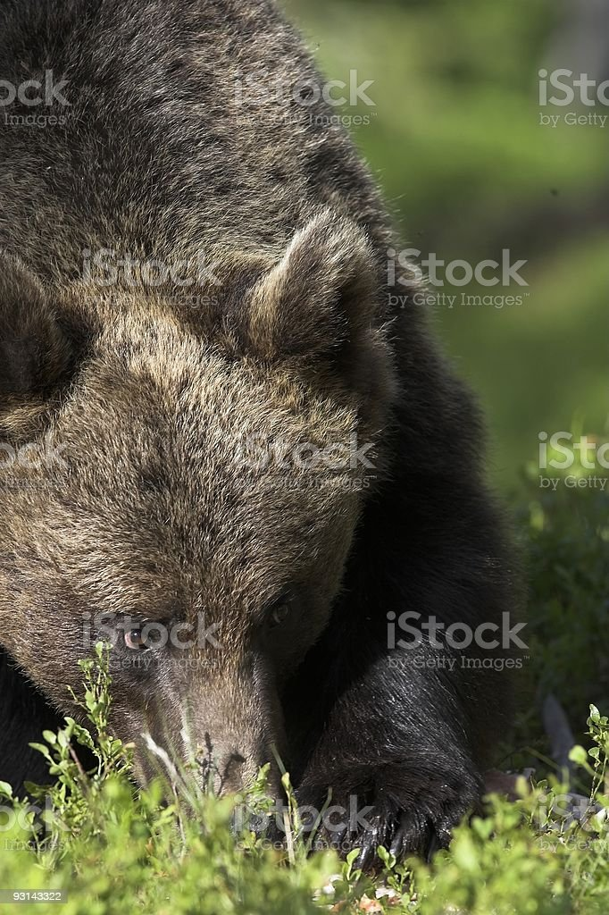 Bear pawing for food royalty-free stock photo