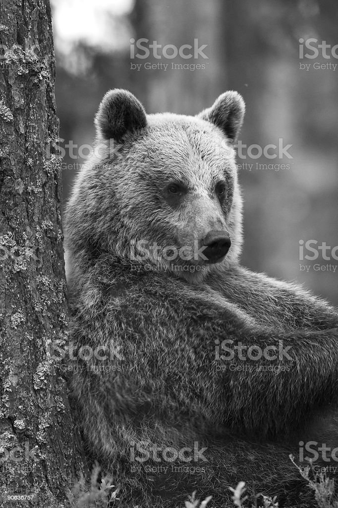 Bear resting against a tree stock photo