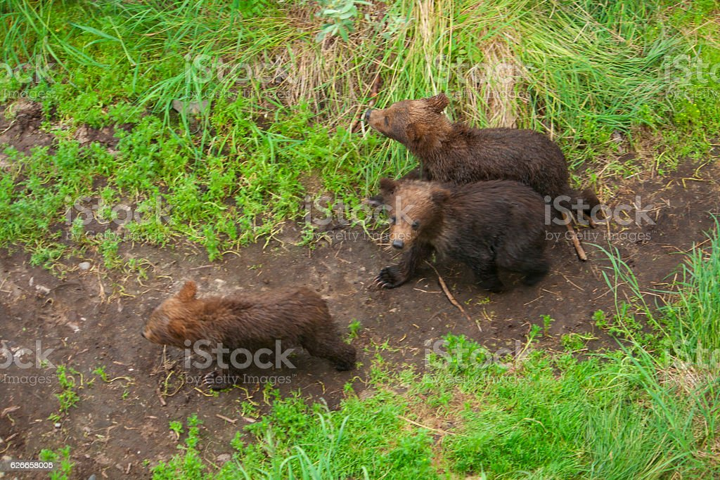 Bear Salmon Fishing stock photo