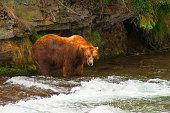 Bear Salmon Fishing
