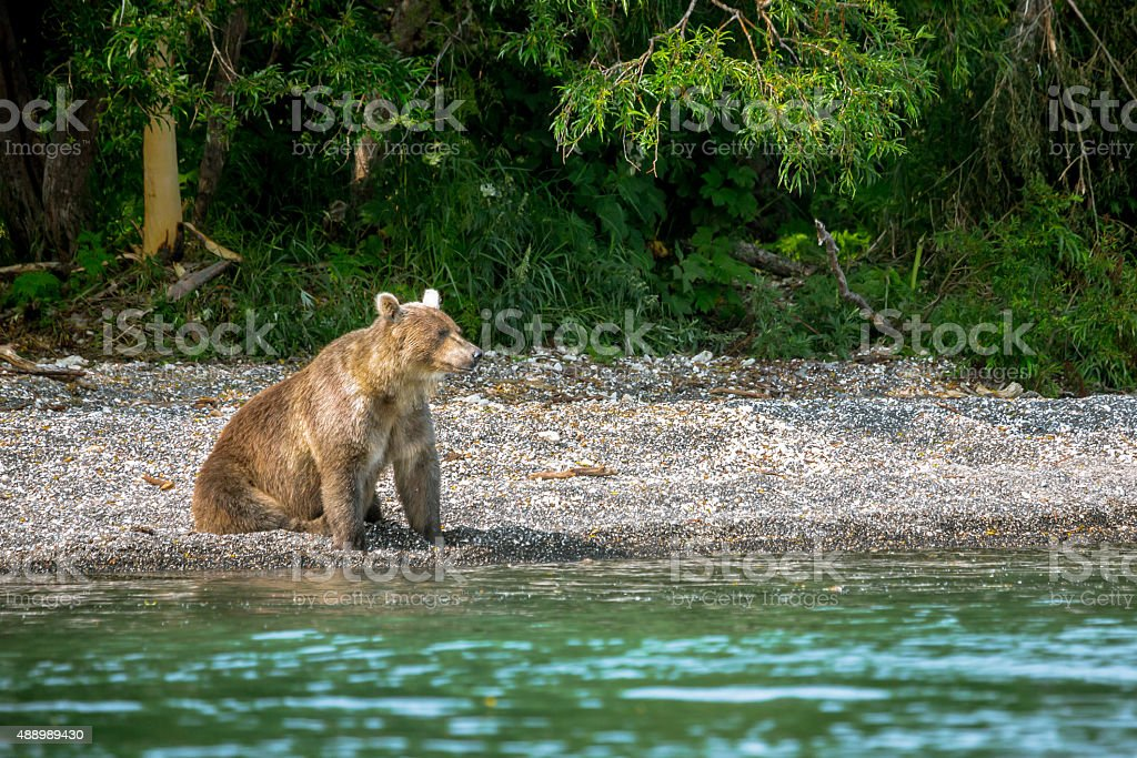 Bear Sitting in the Lake shore stock photo
