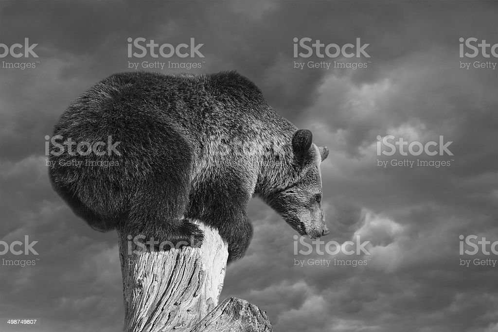 Bear squatting on tree end before explain Bear market essence stock photo