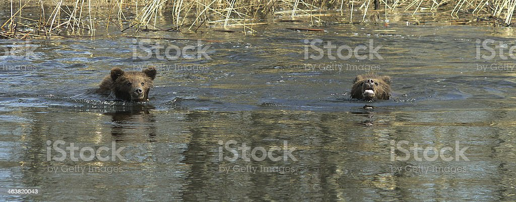 Bear swimming in the lake royalty-free stock photo