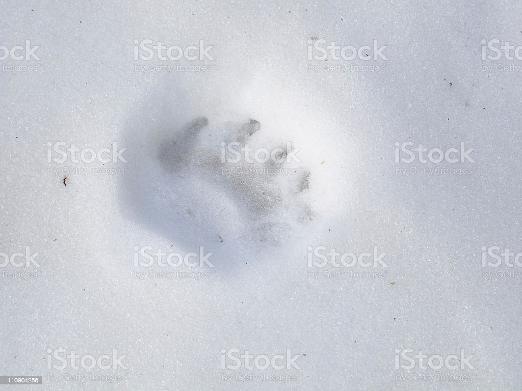 Bear Track on Snow royalty-free stock photo