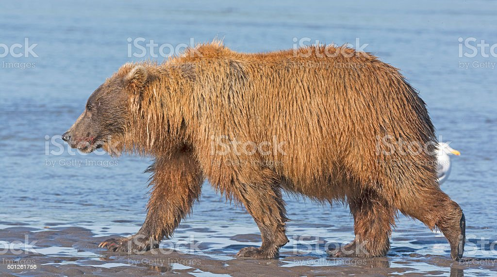 Bear Walking across a Tidal Mud Flat stock photo