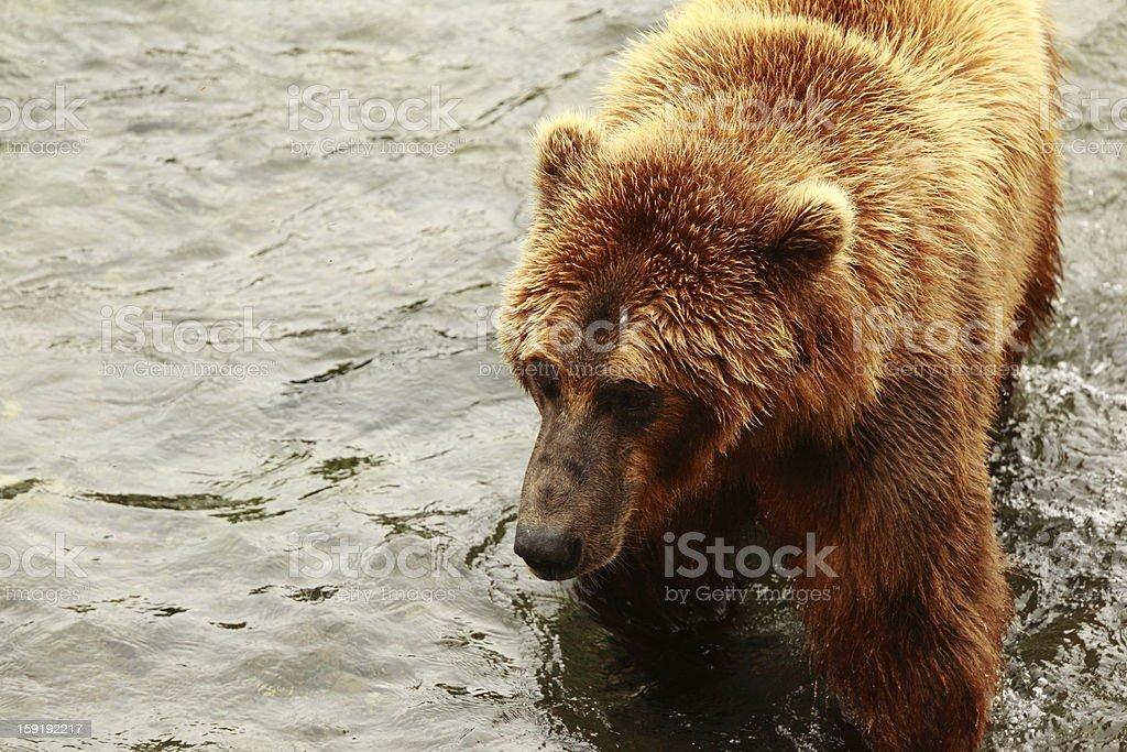Bear walking in river royalty-free stock photo