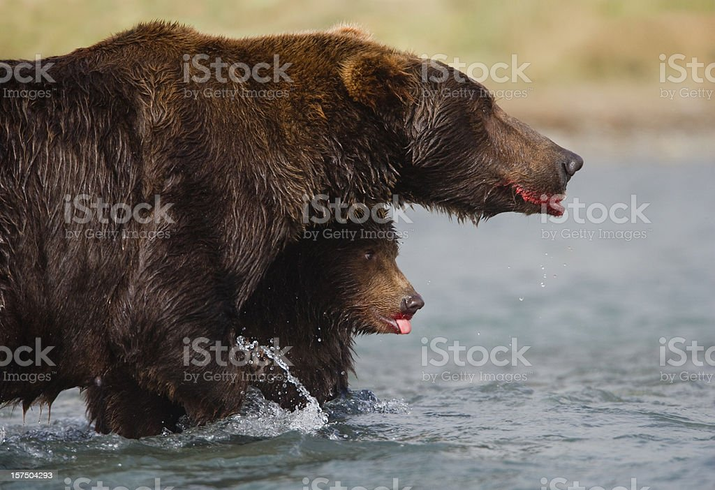 Bear with Cub royalty-free stock photo