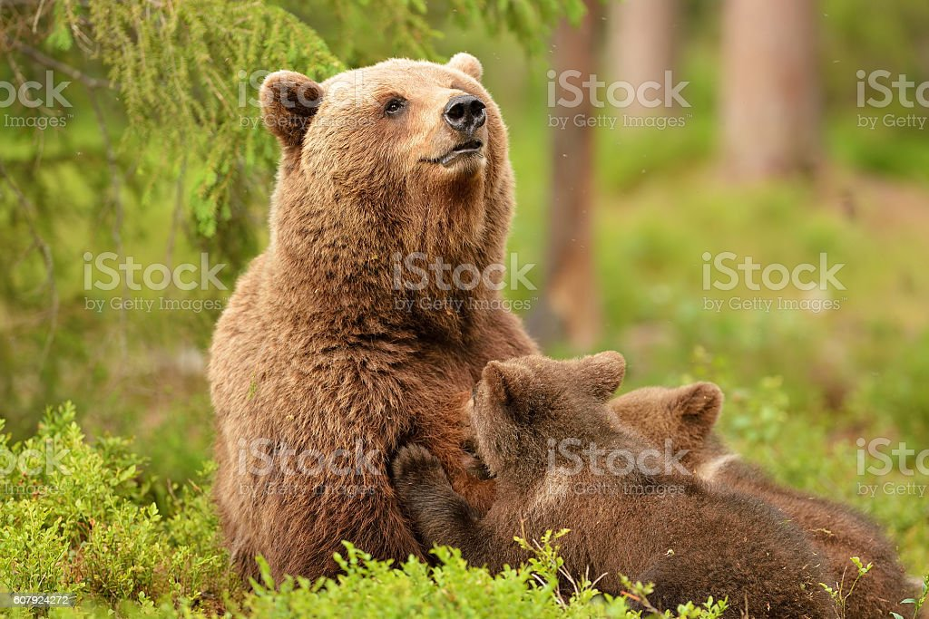 Bear with cubs. Bear feeding cubs. Bear breastfeeding cubs. stock photo
