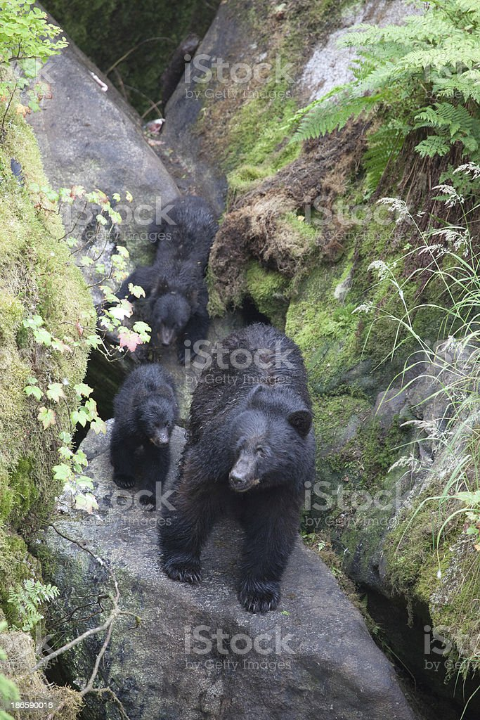 Bear with Cubs stock photo