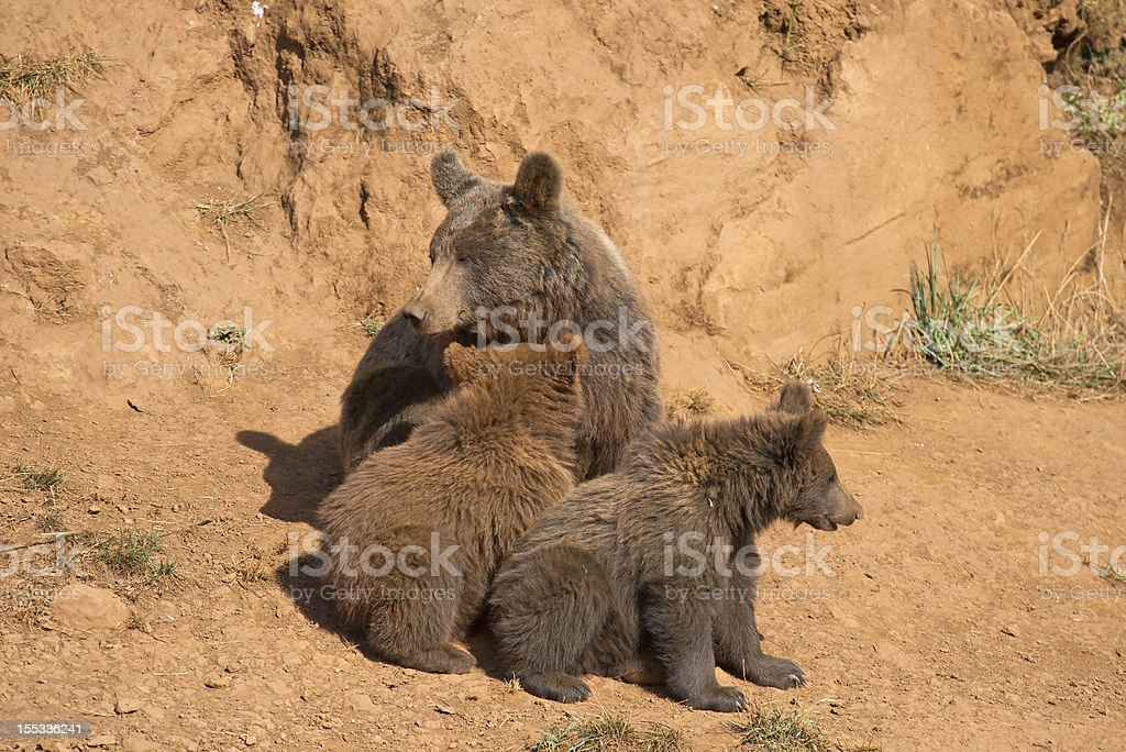 Bear with her cubs royalty-free stock photo