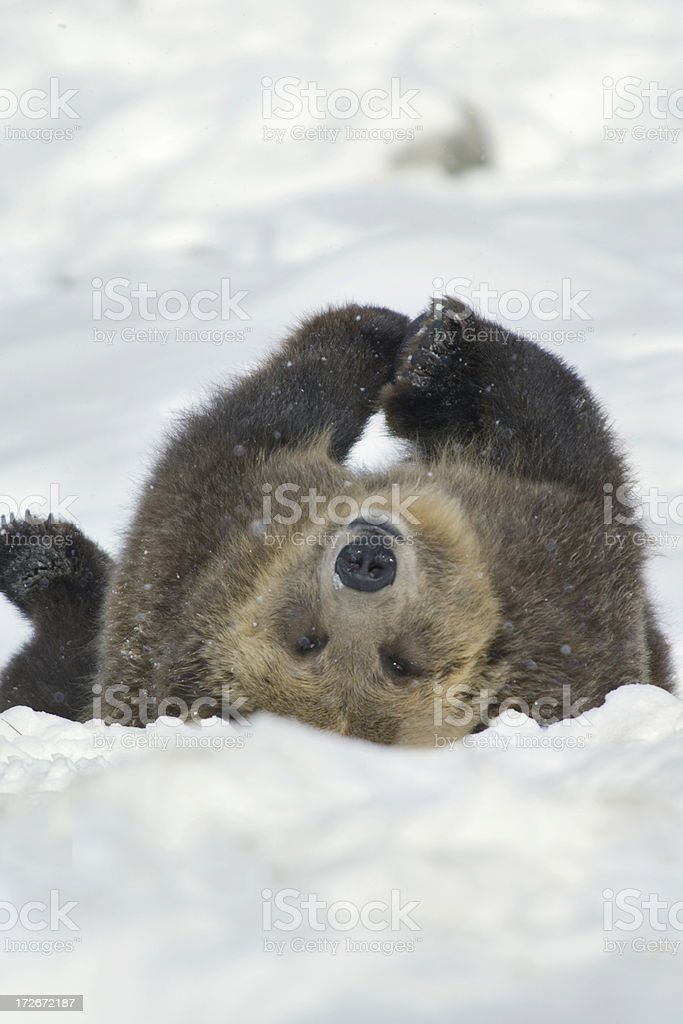 bear world upside down stock photo