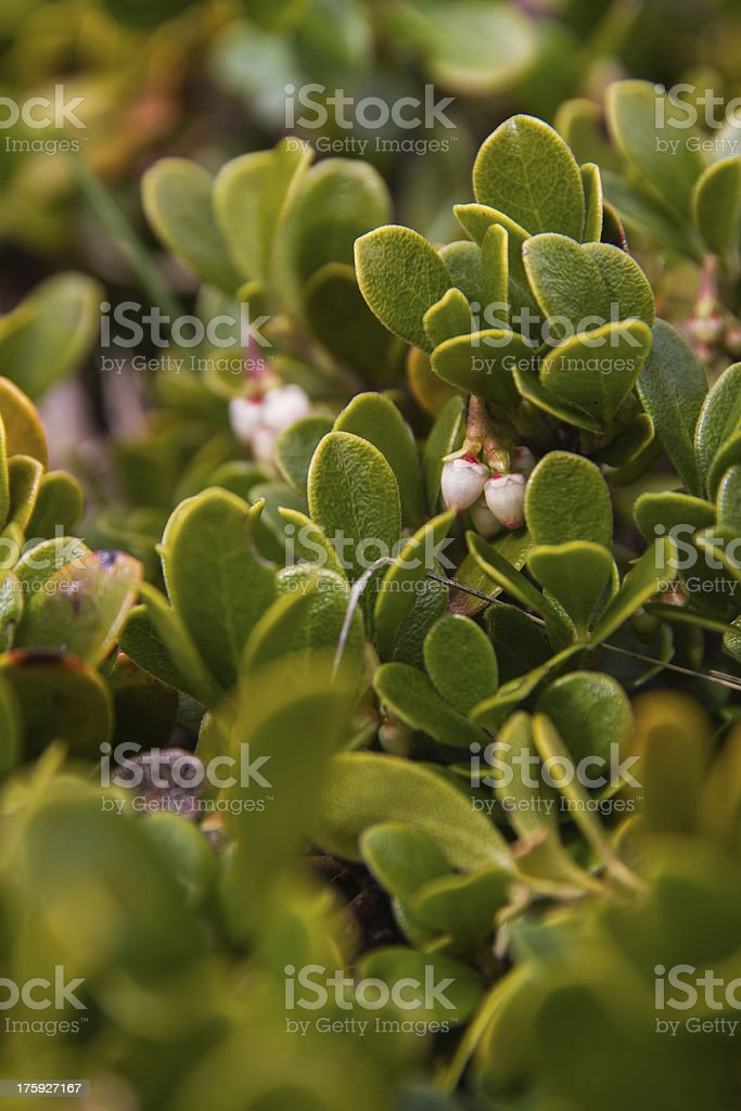 Bearberry Plant and Flowers - Planta y flores de Gayuba stock photo