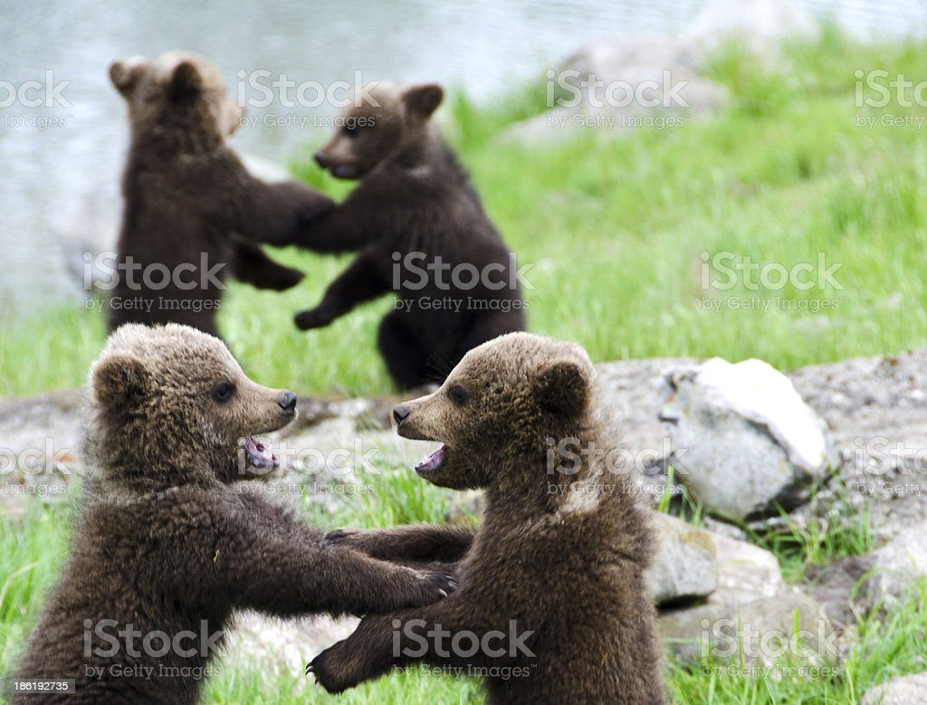 Bearcubs playing with each other stock photo