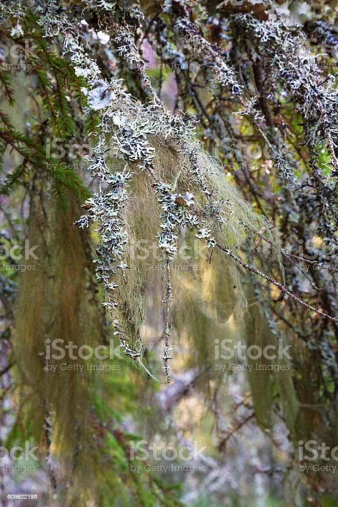 Beard lichen on a branch in the woods stock photo