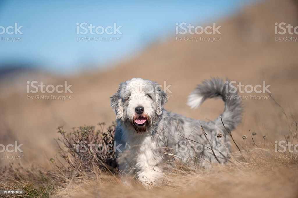 Bearded Collie in dry grass stock photo