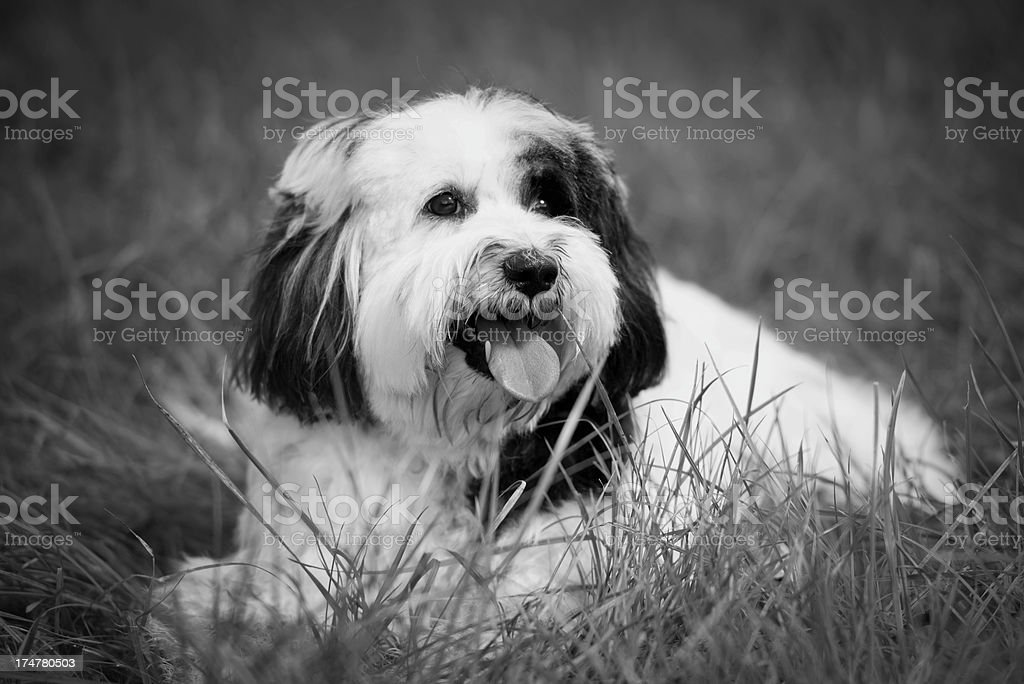 Bearded collie royalty-free stock photo