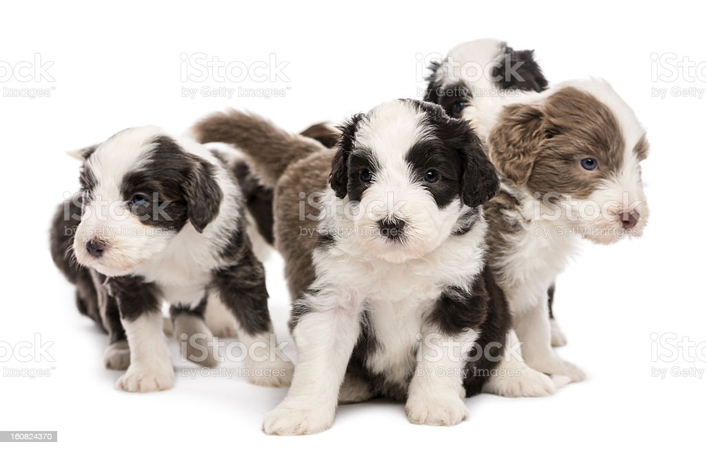Bearded Collie puppies, 6 weeks old, sitting together stock photo