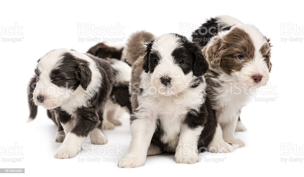 Bearded Collie puppies, 6 weeks old, sitting together royalty-free stock photo