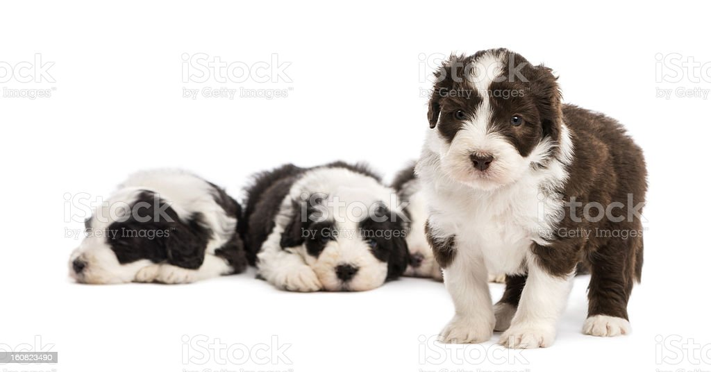 Bearded Collie puppy, 6 weeks old, standing stock photo