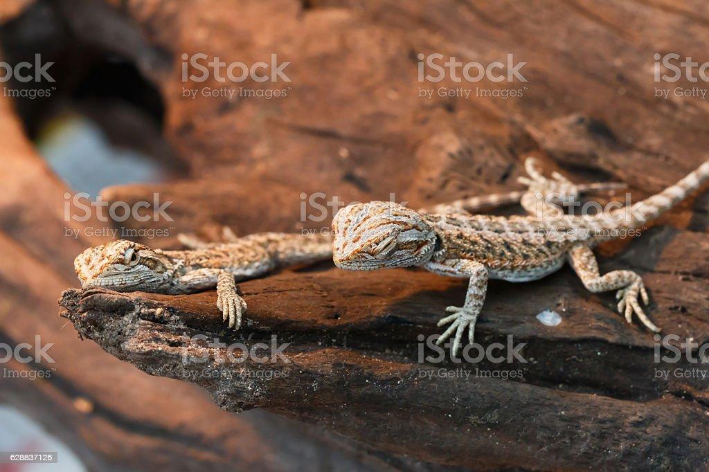 Bearded Dragon animal. stock photo