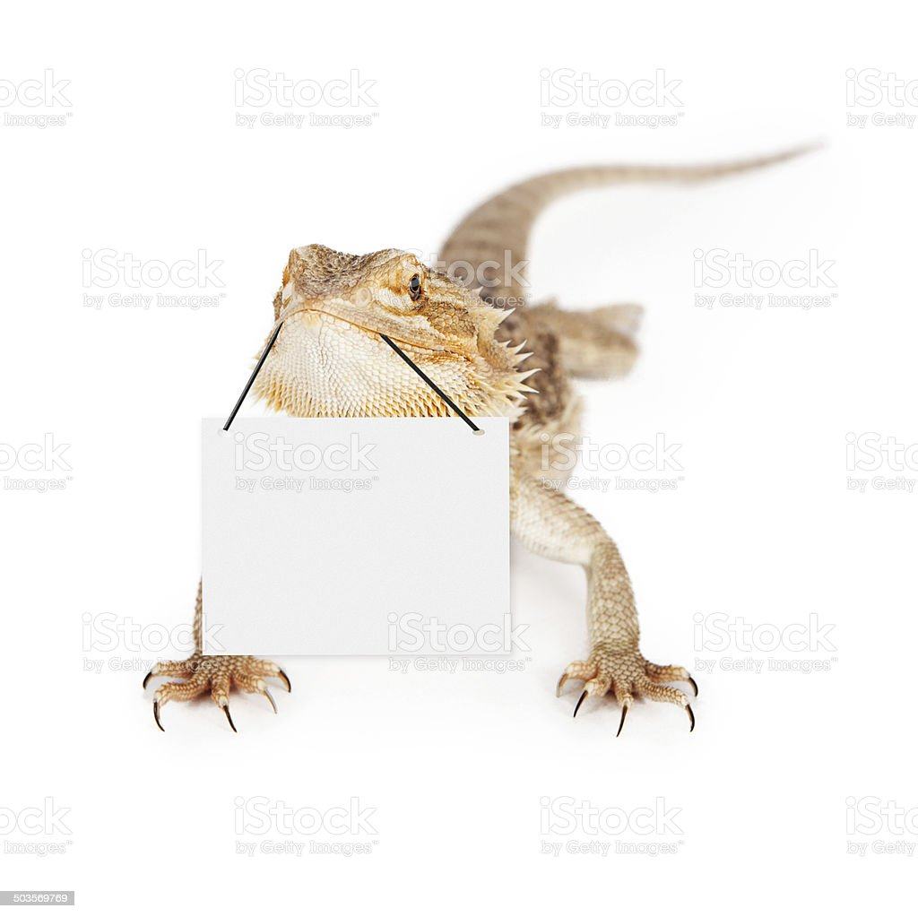 Bearded Dragon Carrying Blank Sign stock photo