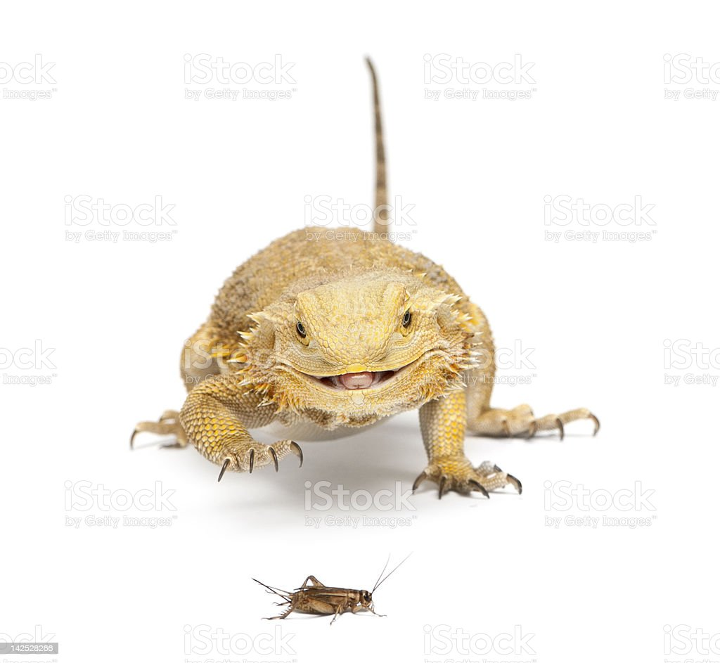 Bearded Dragon chasing a cricket upon white background stock photo