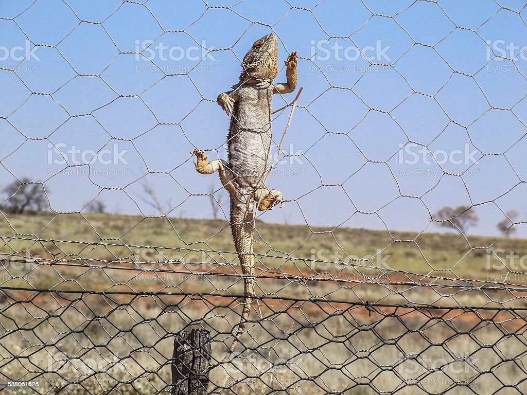 Bearded dragon climbing fence outback Australia stock photo
