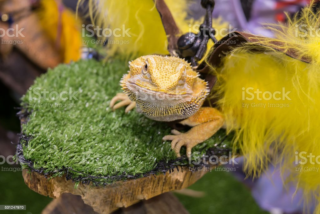 Bearded Dragon (Pogona vitticeps) dressed up in pet show stock photo